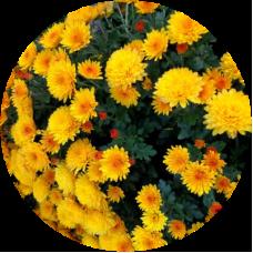 Хризантема Адонис (мультифлора)