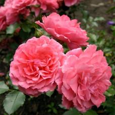 Роза плетистая Розариум Ютерзен