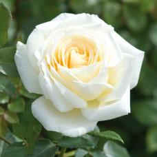 Роза Крем де ля крем