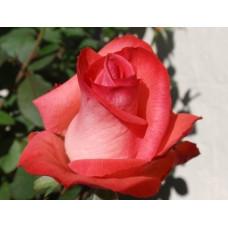 Роза Raphaela