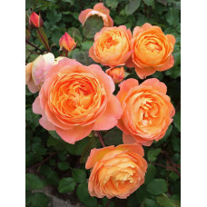 Роза парковая Леди Эмма Гамильтон