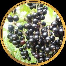 Смородина черная Ариана