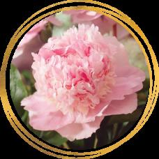 Пион Eden's perfume (Эденс перфьюм)