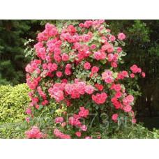 Роза плетистая Девичьи грёзы
