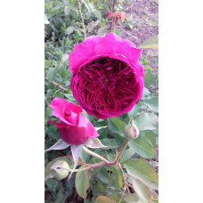 Роза Фальстафф