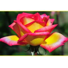 Роза Solidor - 2