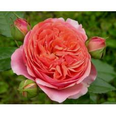 Роза Чиппендейл (парковая)