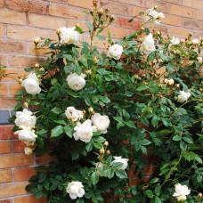 Роза парковая Клэр Остин