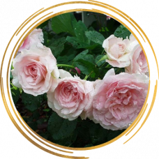 Роза канадская Моден Блаш