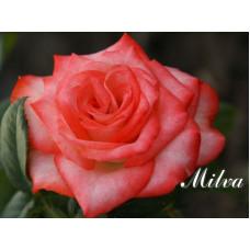 Роза Milva