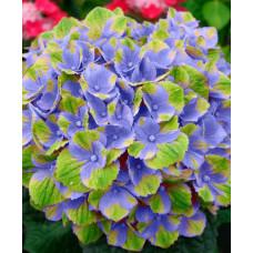 Гортензия Magical Amethyst blue
