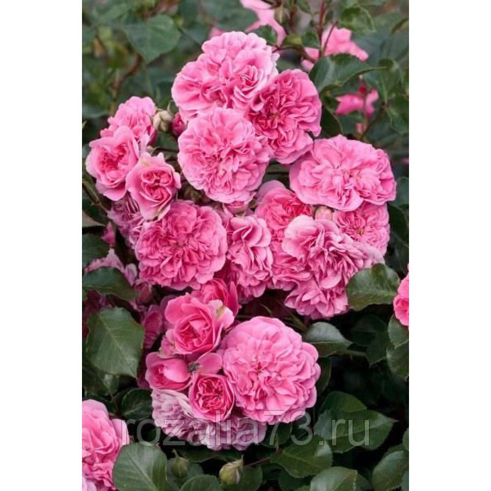 Роза Les Quatre Sеаison (Лэс Кватре Сизонс)