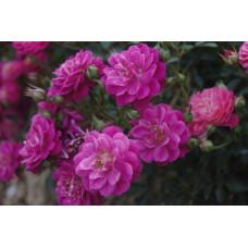 Роза Сиреневый дождь