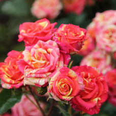 Роза Fire Flash (Вспышка огня)