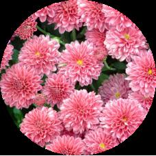 Хризантема Домино ПИНК (мультифлора)