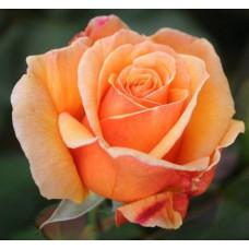 Роза Voodoo-Вуду