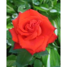 Роза Mercedes (Мерседес)