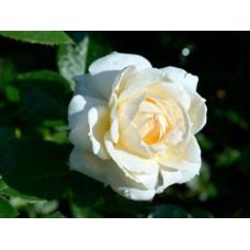 Роза плетистая Монд Жарден