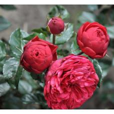 Роза парковая Фортепиано