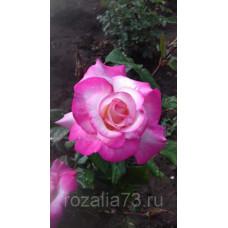 Роза Арифа