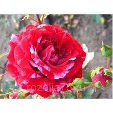 Роза флорибунда Сатин