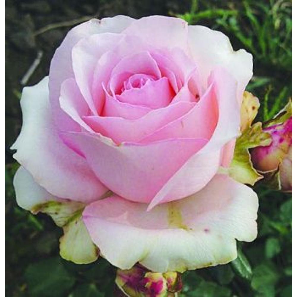 Роза Юниверс