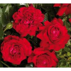 Роза плетистая Гранд Эвод