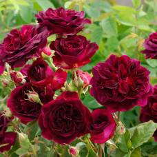 Роза парковая Маунстеад Вуд