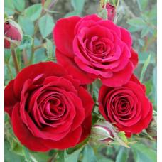 Штамбовые розы оптом