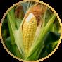 Кукуруза  (8)