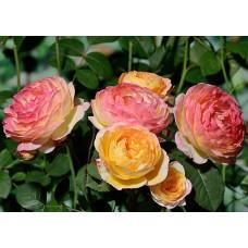 Роза Розоман Жанон